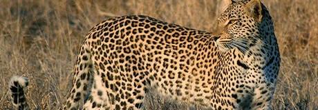 observation-leopard-afrique-du-sud