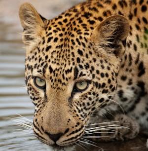 Léopard, Afrique du Sud